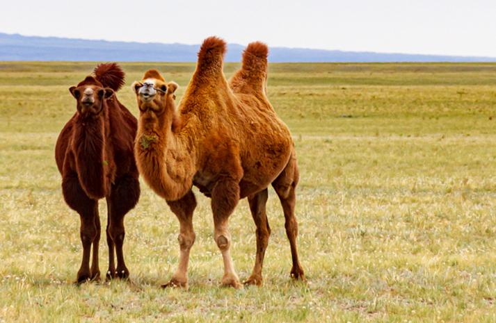 Gobi Desert – Bactrian Camels